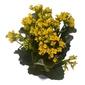 Flor da Fortuna - Kalanchoe <br> pote 15 cm