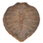 CASCO DE TARTARUGA MARINHA ( Tartaruga Verde - Chelonia Mydas, Medindo 77cm ) Original do Início do Século XX