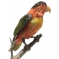 Taxidermia LÓRIS DEMICELLA Espécie de Papagaio da Família Psittaculidae, Indonésia, Meados do Século XX