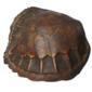 Taxidermia CASCO DE TARTARUGA MARINHA (Tartaruga Verde - Chelonia Mydas) Original do Início do Século XX