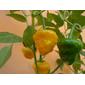 Sementes de Pimenta Jamaican Yellow