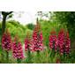 Sementes de digitalis flor de gloxínia sortida 300mg