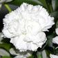 Sementes de cravo chabaud gigante dobrado branco 100mg