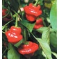 Sementes de Pimenta Jamaican Red
