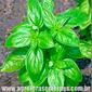 Sementes de manjericão alfavaca basilicão 300mg