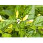 Sementes de Pimenta Tabasco