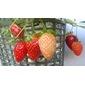 Sementes de morango ornamental 100mg