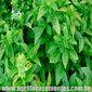 Sementes de manjericão folha fina 100mg
