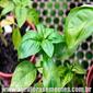 Sementes de manjericão toscano folha de alface 250mg