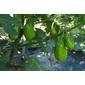 Sementes de jiló tinguá verde claro 250mg
