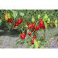 Sementes de Pimenta Habanero Red
