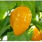 500 sementes de pimenta habanero yellow amarela