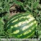 Sementes de melancia crimson sweet 1,5g