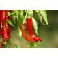 Sementes de Pimenta Cayenne