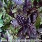 Sementes de manjericão alfavaca basilicão vermelho 300mg
