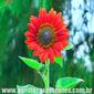 Sementes de girassol sol vermelho 800mg