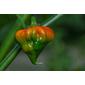 10 Sementes de Pimenta Trinidad Scorpion Red