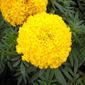 Cravo chabaud gigante dobrado amarelo 100mg