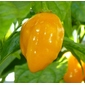 100 sementes de pimenta habanero amarela yellow