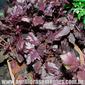 Sementes de manjericão roxo dark opal