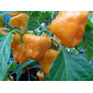 10000 sementes de pimenta jamaican yellow