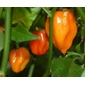 Sementes de Pimenta Habanero Orange