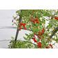 Sementes de tomate cereja 150mg