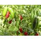 Sementes de Pimenta Jalapeno